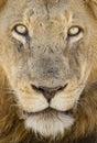 Portrait d un lion masculin afrique du sud Photographie stock