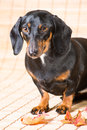 Portrait of dachshund with autumn leaves vertical closeup beautiful on light brown background Stock Photo