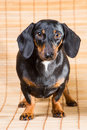 Portrait of dachshund vertical beautiful on light brown background Royalty Free Stock Photos