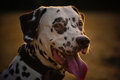 Portrait of dalmatian Royalty Free Stock Images