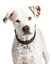 Portrait Dalmation Crossbreed Dog Royalty Free Stock Photo