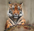 Portrait of dangerous animal. Sumatran tiger, Panthera tigris sumatrae, rare tiger subspecies that inhabits the Indonesian island