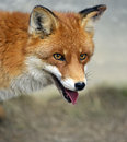 Portrait de fox Images stock
