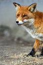 Portrait de fox Photos stock