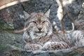 Portrait de lynx Image stock