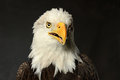 Portrait de studio d eagle chauve Images stock