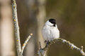 Portrait de willow tit Images libres de droits