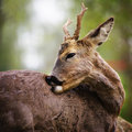 Portrait of deer Royalty Free Stock Images