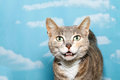 Portrait of diluted tortie tabby cat on blue background with whi white clouds meowing looking forward looks like talking Stock Photo