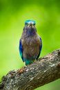 Portrait direction of indian roller coracias benghalensis in nature thailand Stock Photography