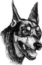Portrait of doberman pinscher vector drawing the the terrier Royalty Free Stock Photo
