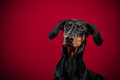 Portrait of Dobermann Stock Image