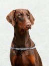 Portrait of dobermann brown with rust red markings Stock Photo