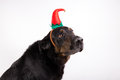 Portrait of a dog in disguise against white background Stock Image