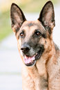 Portrait Dog, German shepherd Stock Image