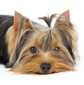 Portrait of the dog with groomed hair yorkshire terrier Royalty Free Stock Photos