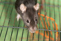 Portrait of domestic rat Royalty Free Stock Images
