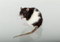 Portrait domestic rat and its reflection on the glass Royalty Free Stock Photography