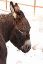Portrait of donkey with bangs brown posing for a picture on a winter day Royalty Free Stock Photography