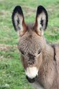 Portrait Donkey Royalty Free Stock Photo