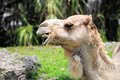 Portrait of dromedary camel posing in zoo miami south florida wild dromedaries are now extinct being domesticated by man Stock Images