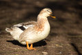 Portrait of a duck as it stroles along the dirt in the early morning sunlight Stock Image