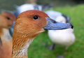 Portrait of duck a beautiful Royalty Free Stock Image