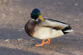 Portrait of a duck on the ground closeup Royalty Free Stock Photography