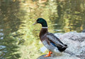 Portrait of a duck on the lake Stock Photo