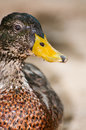 Portrait of a duck macro Stock Images
