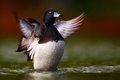Portrait duck water flapping its wings Stock Photos