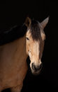 Portrait of a dun horse on dark background Stock Photos