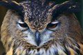 Portrait of an Eagle owl Royalty Free Stock Photo