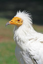 Portrait egyptian vulture Stock Photography