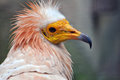 Portrait of Egyptian Vulture Royalty Free Stock Images