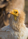 Portrait of an egyptian vulture close up the face neophron percnopterus Royalty Free Stock Image