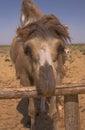 Portrait eines Bactrian Kamels in Kazakhstan Lizenzfreies Stockfoto