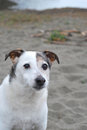Portrait of elderly jrt old jack russell terrier enjoying beach Royalty Free Stock Image