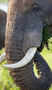 Portrait of an elephant. Close-up. Africa. Kenya. Tanzania. Serengeti. Maasai Mara. Royalty Free Stock Photo