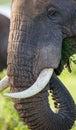Portrait of an elephant. Close-up. Africa. Kenya. Tanzania. Serengeti. Maasai Mara. Royalty Free Stock Photo