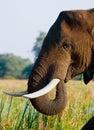 Portrait of the elephant close-up. Zambia. Lower Zambezi National Park. Royalty Free Stock Photo