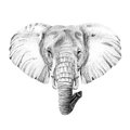 Portrait of elephant drawn by hand in pencil