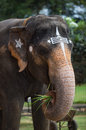 Portrait of an elephant in indian temple tamil nadu Royalty Free Stock Photos