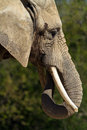 Portrait of an elephant in summer Royalty Free Stock Photo