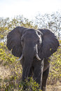 Portrait of an elephant in the wilderness in tanzania Stock Photos