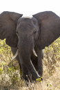 Portrait of an elephant in the wilderness in tanzania Stock Photography