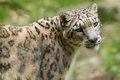 Portrait of endangered asian snow leopard panthera uncia cat Stock Image