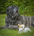 Portrait of a English Mastiff and a Papillon Stock Image
