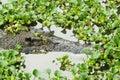 Portrait of an Estuarine Crocodile Royalty Free Stock Photo