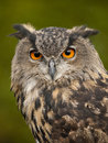 Portrait of a Eurasian Eagle-Owl Royalty Free Stock Photo